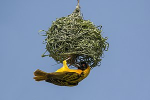 Ploceidae - A male village weaver (Ploceus cucullatus bohndorffi), building his nest