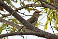 Black-whiskered Vireo (Vireo altiloquus) (8082757708).jpg