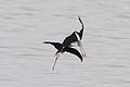 Black-winged Stilt (Himantopus himantopus) (8079420687).jpg