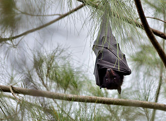 Nicoll Scrub National Park - Black flying fox