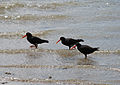 Black Oystercatchers, Northland, New Zealand, October 2007.jpg