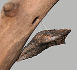 Black Swallowtail Chrysalis Megan McCarty33.jpg