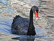 Black Swan (Cygnus atratus) RWD.jpg