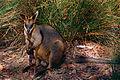 Black Wallaby (Wallabia bicolor) (10001189194).jpg