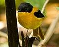 Black and Orange Flycatcher (Male) (7000970156).jpg