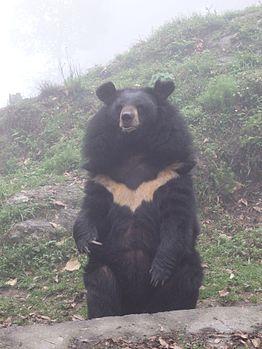 Black bear - Padmaja Naidu Himalayan Zoological Park.jpg