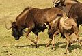 Black wildebeest, or white-tailed gnu, Connochaetes gnou at Krugersdorp Game Reserve, Gauteng, South Africa (26872965524).jpg