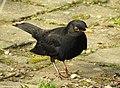 Blackbird (33241161452).jpg