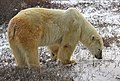 Blakava the polar bear (6355792313).jpg