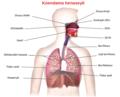 Blausen 0770 RespiratorySystem 02 ku.png