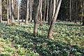 Bledule jarní v PR Králova zahrada 26.jpg