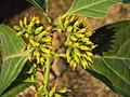 Blepharistemma serratum at Periya (25).jpg
