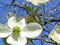 Blooming Dogwood.jpg