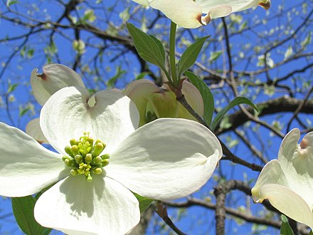 Bracts of flowering dogwood, an understory tree native to Central Park IMG 1527Dogwood.JPG
