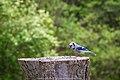Blue Jay (17729157892).jpg