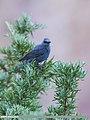 Blue Rock Thrush (Monticola solitarius) (30646896797).jpg
