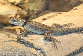 Blue Spiny Lizard 895.jpg