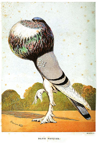 William Bernhardt Tegetmeier - A blue pouter from the frontispiece of Pigeons (1868)