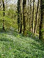 Bluebells, in Wood Copse - geograph.org.uk - 1271874.jpg