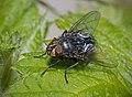 Bluebottle Calliphora vicina (17338052630).jpg