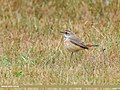 Bluethroat (Luscinia svecica) (43617821280).jpg