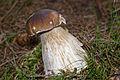 Boletus edulis (4970786817).jpg