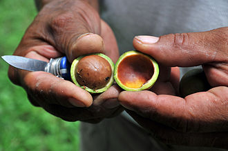 Macadamia - Fresh macadamia nut with husk or pericarp cut in half