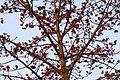 Bombax ceiba Silk Cotton by Dr. Raju Kasambe IMG 0073 (2).jpg