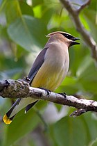Bombycilla cedrorum -perching on a branch-8.jpg