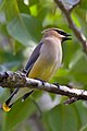 Bombycilla cedrorum -perching on a branch-8.jpg