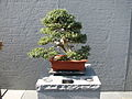 Bonsai United States National Arboretum 2.JPG