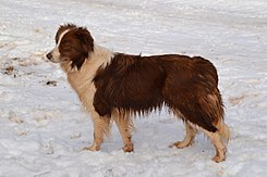 Border Collie chocolate (Bicky de los Baganicos).jpg