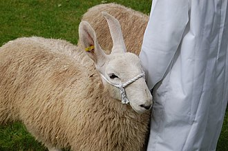Sheep wearing a cotton rope halter. Border Leicester closeup.jpg