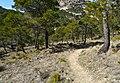 Bosc de pins per la Serrella.JPG