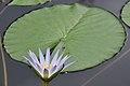 Botanischer Garten der Universität Zürich - Nymphaea 2010-09-16 15-25-14.JPG