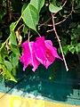 Bougainvillea glabra flower 02.jpg