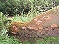 Bracket fungus - geograph.org.uk - 543920.jpg