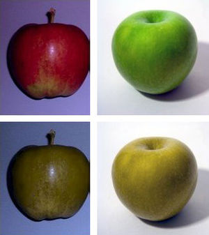 Equine vision - A representation of how a horse possibly sees a red or a green apple (bottom) compared to how red or green apples are usually seen by most humans (top)