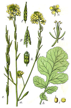 Brassica nigra ;Original Caption: Schwarzer Se...