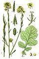 Brassica nigra Sturm38.jpg