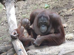 Breastfeeding orangutan - Barcelona Zoo 2015 - 02.JPG