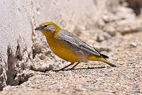 Bright-rumped Yellow-Finch (Sicalis uropigyalis) (8077601983).jpg