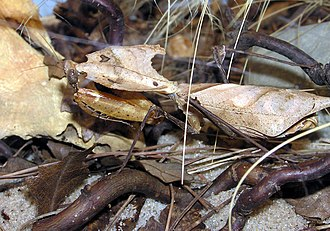 Deroplatys - Adult female Deroplatys desiccata photographed at Bristol Zoo in 2007