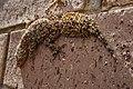 Broad-tailed Gecko 2.jpg