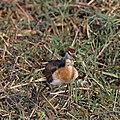 Bronze-winged jacana (Metopidius indicus) immature 3.jpg