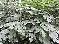 Broussonetia papyrifera-3-AJCBIBG-howrah-India.jpg