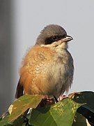 Brown Shrike.jpg