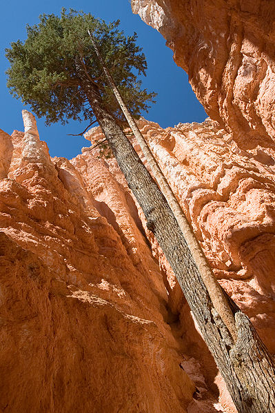 File:Bryce Canyon Wallstreet Tree MC.jpg