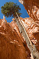 Bryce Canyon Wallstreet Tree MC.jpg