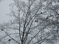 Bucuresti, Romania, Cimitirul Bellu Catolic, Ciori in copaci, iarna 2014.JPG